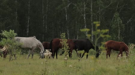 çimenli : Horses grazing sappy grass in green lawn at a birch forest Stok Video