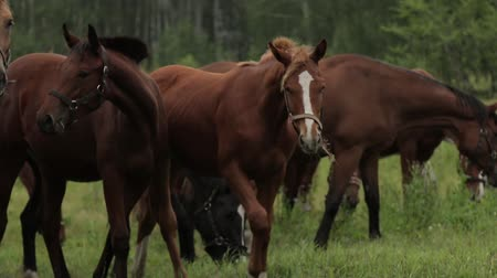 dizgin : Horses grazing sappy grass in green lawn at a birch forest Stok Video