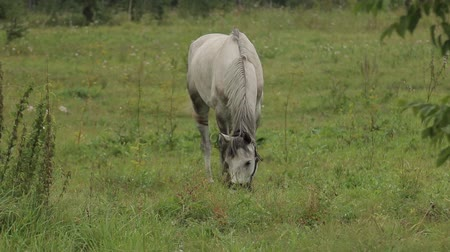 yele : Horses grazing sappy grass in green lawn at a birch forest Stok Video
