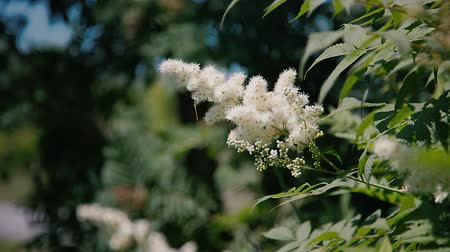 sorbus : Flowering mountain ash. A bee flies around a flower.