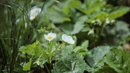 png : Small white strawberry flowers in the garden. Blooming strawberry close up view. Stock Footage