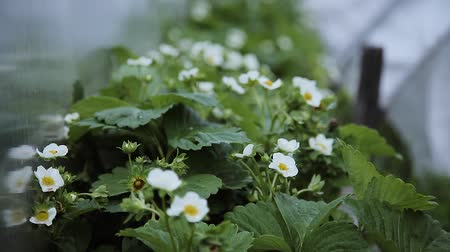 Small white strawberry flowers in the garden. Blooming strawberry close up view. 무비클립