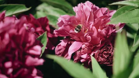 Bumblebee collects pollen from a flower. Red peonies.