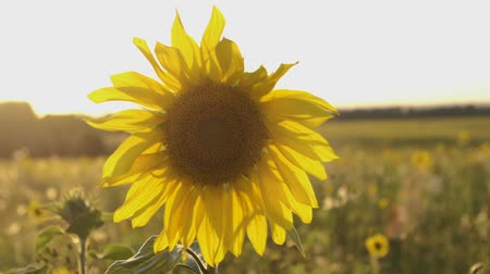 A field of sunflowers. Bright yellow sunflower in the sun. Sunflower close-up. 무비클립