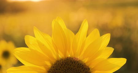 mexicano : 4K Sunflower close-up. A field of sunflowers. Bright yellow sunflower in the sun. Vídeos