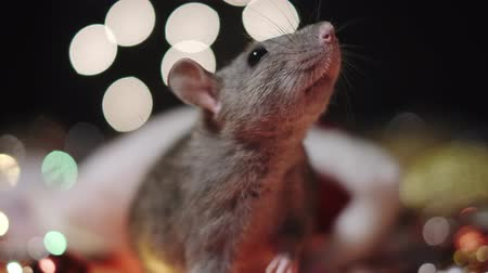 calendario cinese : Symbol of 2020, the rat sits on the background of a Christmas tree decorated. A gray rat sits in a house on a background of bright lights. Beautiful bokeh. Black background. New Year concept. Filmati Stock