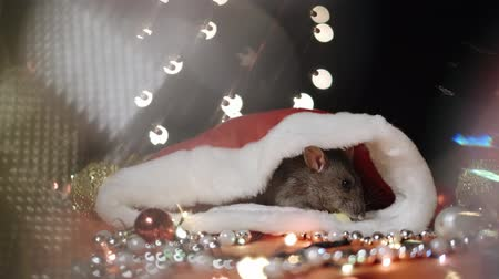 horoszkóp : Symbol of 2020, the rat sits on the background of a Christmas tree decorated. A gray rat sits in a house on a background of bright lights. Beautiful bokeh. Black background. New Year concept. Stock mozgókép