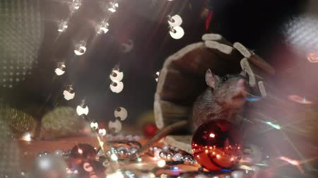 szczur : Symbol of 2020, the rat sits on the background of a Christmas tree decorated. A gray rat sits in a house on a background of bright lights. Beautiful bokeh. Black background. New Year concept. Wideo
