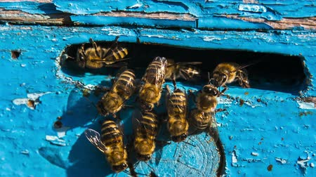 pszczoła : Close-up shot of a group of honey bees at the entrance to the hive.