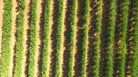 плодоношение : AERIAL VIEW: Zoom out over rows of fruit trees growing in standard apple orchard swaying with light wind at sunny day. Стоковые видеозаписи