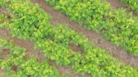 plantio : Camera is moving directly above rows of green carrots tops moved by light wind growing in the rural field.