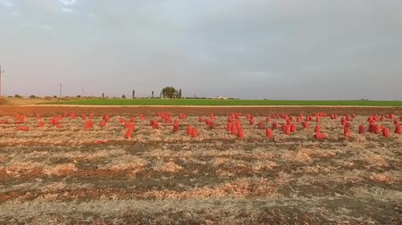 cebula : Side moving shot of rows of orange sacks with harvested onion standing on the field with dried haulms. Line of green field and grey sky on background.