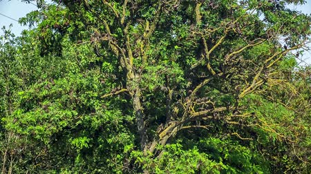 uçan : In the frame there is a green tree with lush foliage and lots of black birds flying downwards and upwards. Stok Video