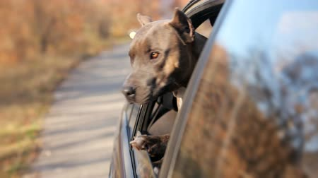 cão : Funny Dog Looking Out Of Car Window