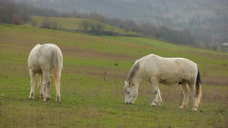 padok : Two Beautiful White Horses Grazing In Pasture