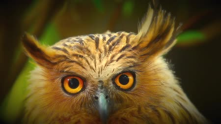 uil : Close up. Asian Owls (Bubo Bubo), at the tree nature jungle place