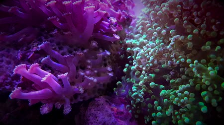 tétel : Beautiful colourful corals move in water Stock mozgókép