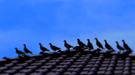 perching : Group of pigeons on the roof