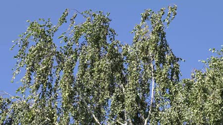 branches of a birch is swaying in the wind