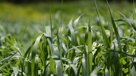 Wind moving green grass. Grass swaying in the wind Stock Footage