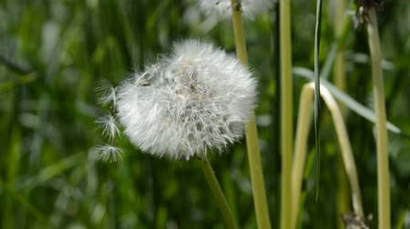 Dandelion seeds blown in the wind. Green Grass in Spring Park. Flying dandelion seeds