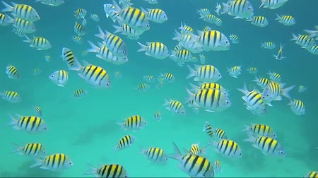 alatt : Snorkeling in the Caribbean sea with a shoal of Sergeant Major fish, Caribbean sea, Mexico