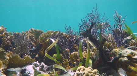 tengeri élet : Coral reef seabed with school of tropical fish, Caribbean sea