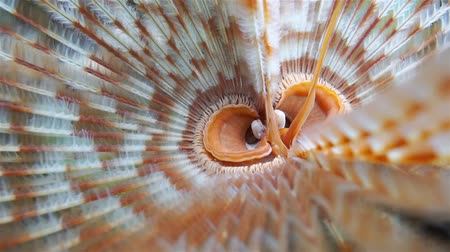 féreg : Underwater sea life, head of a magnificent feather duster worm, Sabellastarte magnifica, Caribbean sea