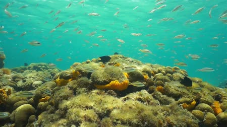 vida marinha : Underwater life, school of fish swimming above a shallow reef in the Caribbean sea