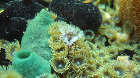 gąbka : Underwater marine life, a feather duster worm coming out of its tube on a seabed with zoanthids and sponges, Caribbean sea