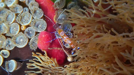 gąbka : Colorful spotted cleaner shrimp, Periclimenes yucatanicus, on the seabed of the Caribbean sea Wideo