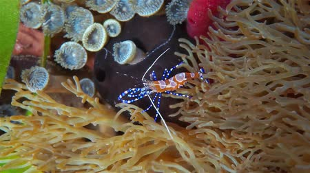 cleaner : A colorful spotted cleaner shrimp, Periclimenes yucatanicus, underwater viewed from above, Caribbean sea, Mexico Stock Footage