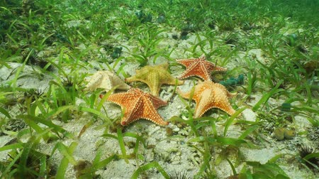 reticulatus : Five Cushion starfish underwater with different colors on ocean floor with sand and sea grass, Atlantic ocean, Bahamas