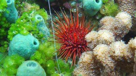 korál : Sea urchin underwater with sponge and coral on the seabed of the Caribbean sea