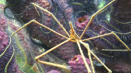 underwater video : Sea life underwater, a yellowline arrow crab with branching tube sponge and brittle stars in background, Caribbean sea Stock Footage