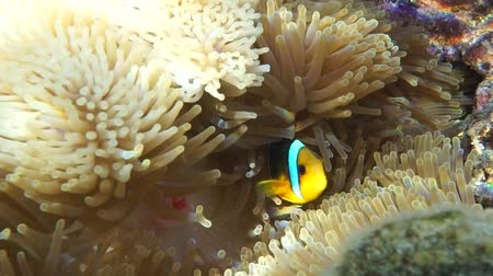 underwater video : A tropical fish orange-fin anemonefish, Amphiprion chrysopterus, underwater in a sea anemone, lagoon of Bora Bora, Pacific ocean, French Polynesia