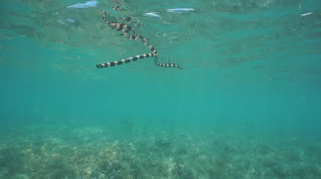 krait : Sea snake banded sea krait underwater goes to the surface from a shallow seabed to breathe, south Pacific ocean, New Caledonia