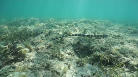 krait : Sea snake hunting underwater on the seabed, banded sea krait, Laticauda colubrina, New Caledonia, south Pacific ocean