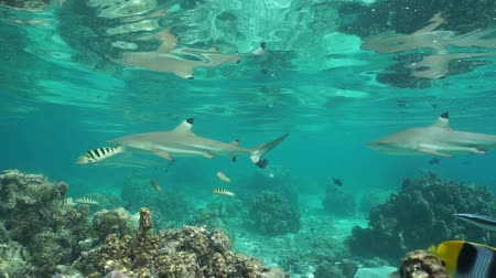 underwater video : Blacktip reef sharks with tropical fish underwater in the lagoon of Huahine island, motionless scene, Pacific ocean, French Polynesia