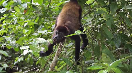howler monkey : Mantled howler monkey, Alouatta palliata, eating small fruits, Cahuita national park, Costa Rica, Central America