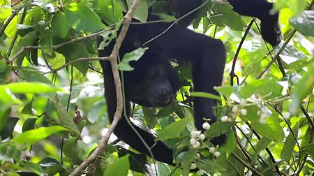 howler monkey : A mantled howler monkey, Alouatta palliata, eating small fruits on a tree in the jungle, Costa Rica, Central America