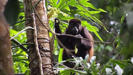 howler monkey : Mantled howler monkey, Alouatta palliata, eating  leaf, Cahuita national park, Costa Rica, Central America