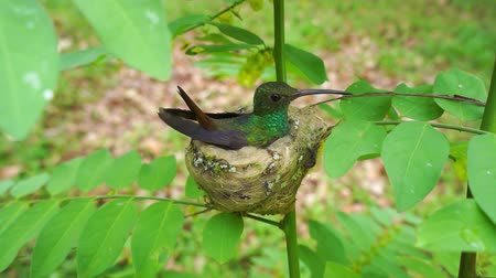ninhada : Rufous-tailed Hummingbird, Amazilia tzacatl, sitting on its nest, Costa Rica, Central America, 50fps