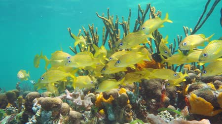 reef life : Shoal of tropical fish in a colorful coral reef, Caribbean sea, Mexico, 50fps