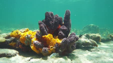 fauna of the tropics : Colorful sea sponges underwater on a shallow seabed of the Caribbean sea, 50fps Stock Footage