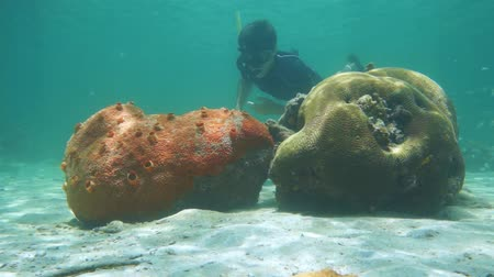 šnorchl : Man snorkeling underwater looks a red encrusting sea sponge and brain coral, Caribbean sea, 50fps