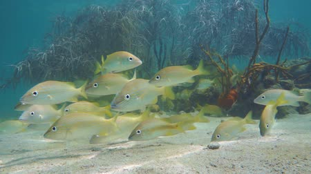 A shoal of grunt fish with sea plume soft coral in background, underwater in the Caribbean sea, Mexico, 50fps