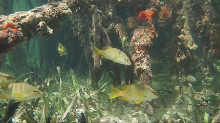 américa central : Underwater mangrove roots with tropical fish, Caribbean sea, Bocas del Toro, Panama, Central America