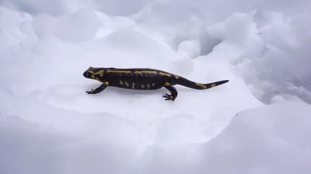 roussillon : A fire salamander walking in the snow, Salamandra salamandra, Massif des Alberes, Pyrenees Orientales, France, 60fps Stock Footage