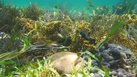 Corals with tropical fishes in a shallow reef of the Caribbean sea, Panama, Central America, 50fps